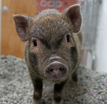 Pig Pets Rehome