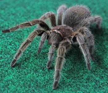 Unusual Pet Exotic Tarantula