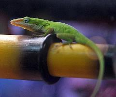 Anole Uncle Bills Pet Centers