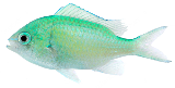 blue-green-chromis-damsel