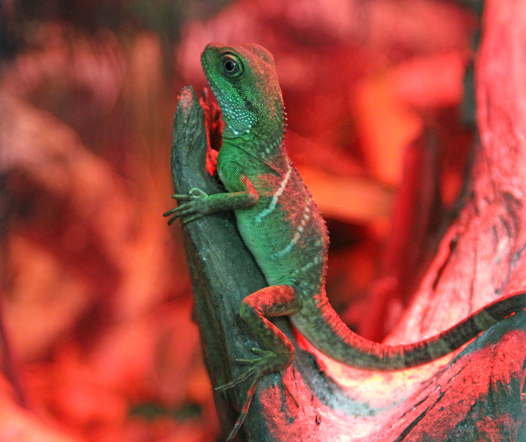 Chinese Water Dragons Uncle Bills Pet Centers