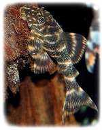 clown-plecostomus-l104