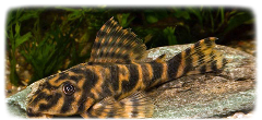 dwarf-clown-pleco
