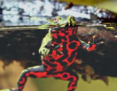 Fire Belly Bellied Toad Uncle Bills Pet Centers