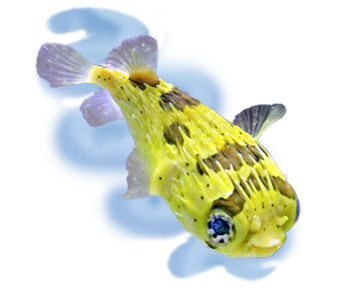 fish aquarium puffer fish