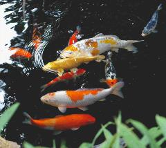 Aquatics blog for Variete koi