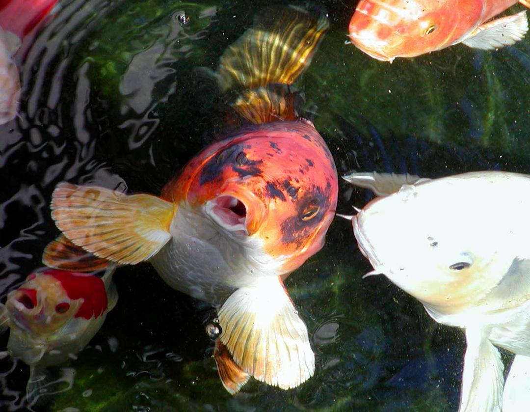 Aquatics blog for Koi ponds near me