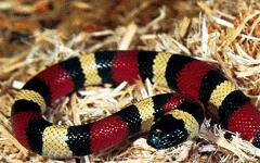 Milk Snake Uncle Bills Pet Center