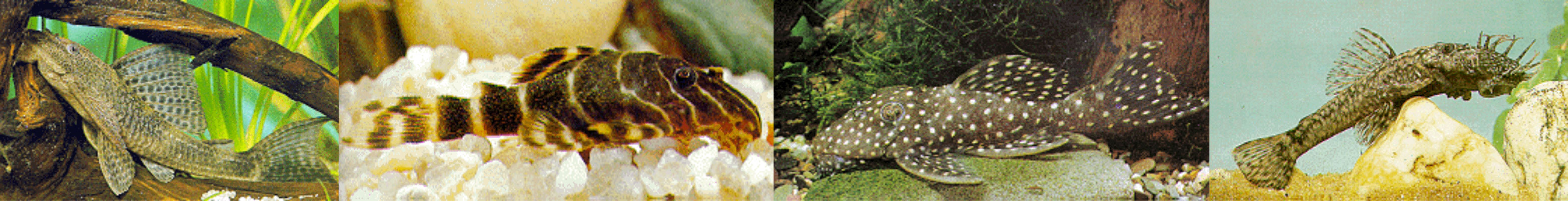 plecostomus-gold-nugget-clown-bristle-nosed-and-regular-montage