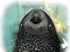 plecostomus-sucker-fish-mouth