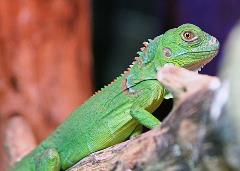 Green Iguana Uncle Bills Pet Centers