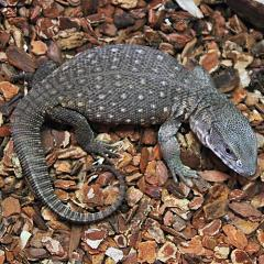 Lizards, Geckos, & Salamanders