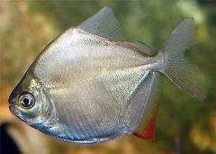 silver-dollar-fish-up-close