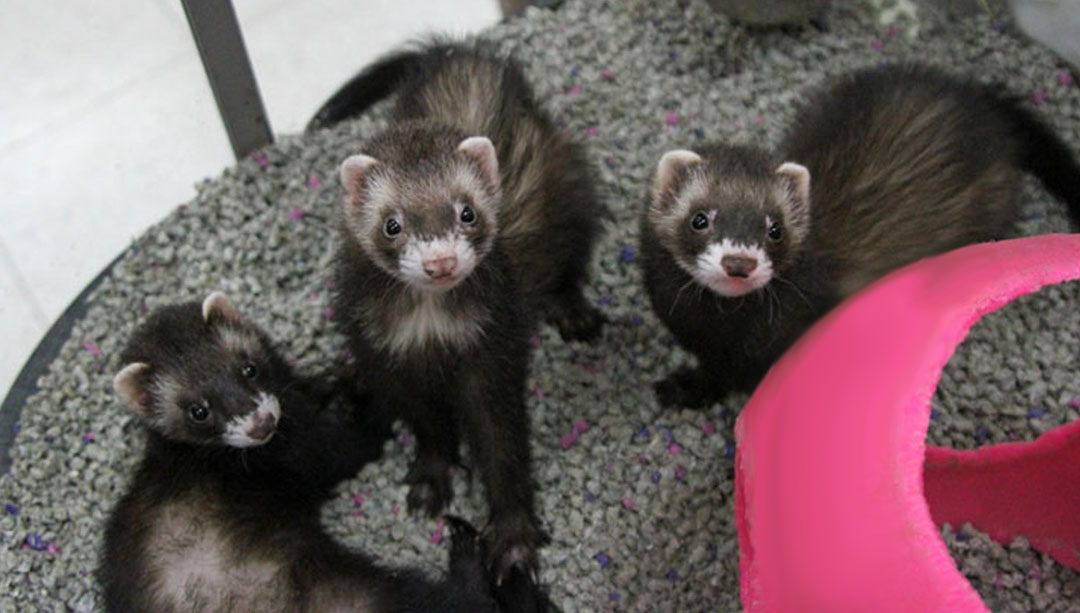 Small Animal Ferrets Uncle Bills