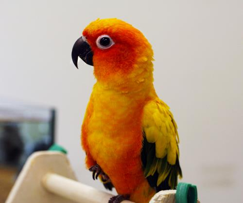 Sun Conure Uncle Bills Pet Center