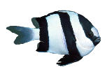 three-strip-damsel-fish
