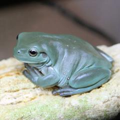 White's Dumpy Tree Frog Uncle Bills Pet Centers