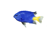 Yellowtail_Damselfish