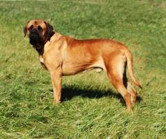 wagler english mastiff male named abe