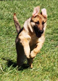 wagler german shepherd playing in turnout yard