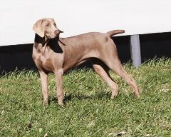 wagler weimaraner female in turnout yard