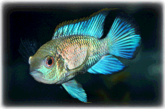 Electric Blue Acara Cichlid Uncle Bill's Pet Centers of Indiana