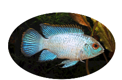 Electric Blue Acara Light Cichlid Uncle Bill's Pet Centers of Indiana