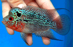 magma flowerhorn cichlid uncle bills
