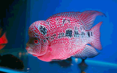 red magma flowerhorn cichlid uncle bills