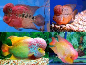 mixed flowerhorn cichlids uncle bills