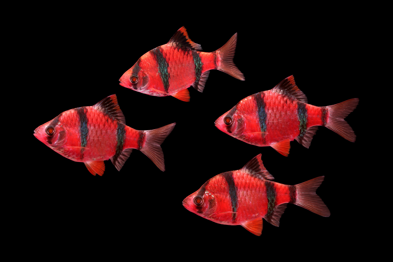 NEW Starfire Red GloFish Barbs!