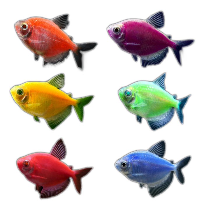 The wonders of glo fish for Glo tetra fish