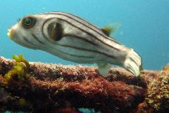striped narrow lined puffer