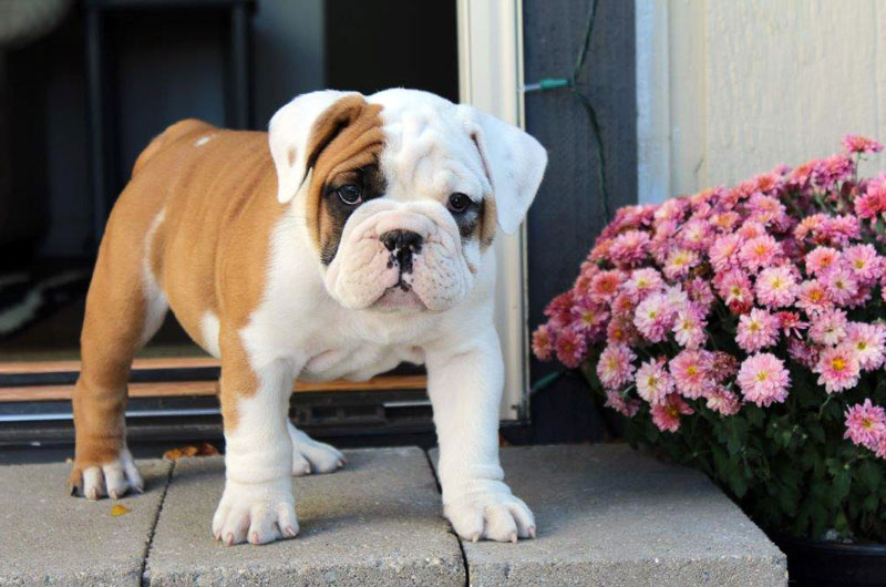 Valley Bulldog Uncle Bills Indiana Puppy for Sale