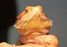 Reptile Bearded Dragon